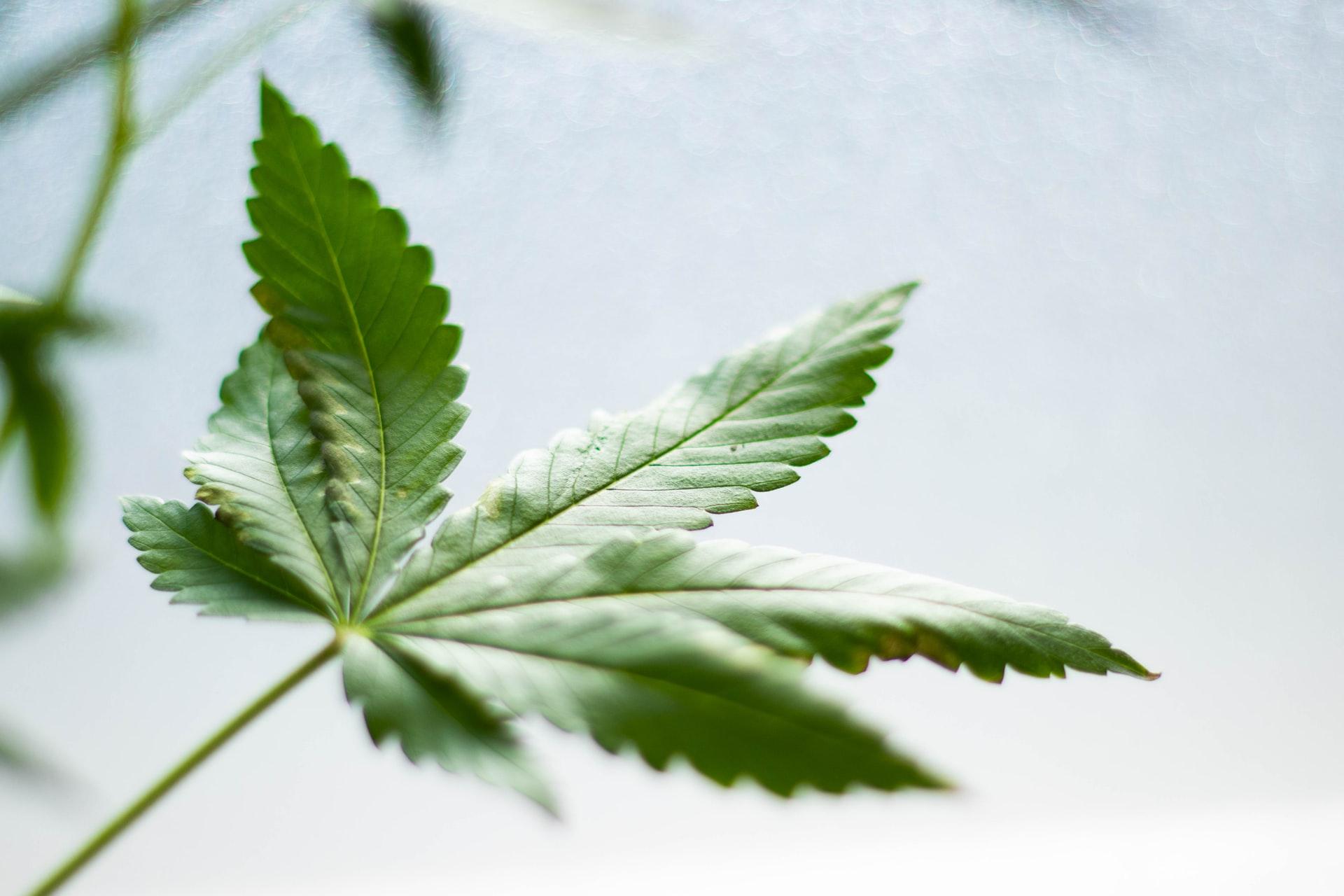 feuille de cannabis cbd
