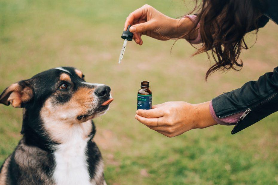 chien qui prend de l'huile de cbd